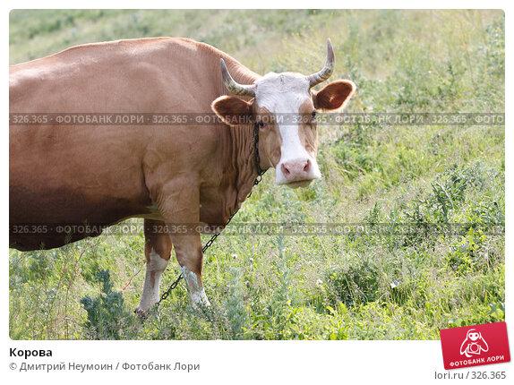Корова, эксклюзивное фото № 326365, снято 12 июня 2008 г. (c) Дмитрий Нейман / Фотобанк Лори