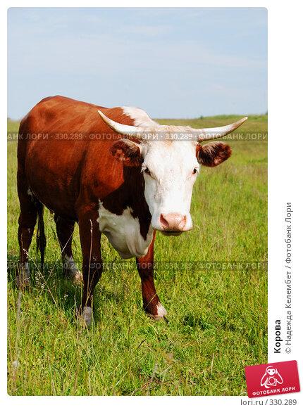 Корова, фото № 330289, снято 12 июня 2008 г. (c) Надежда Келембет / Фотобанк Лори