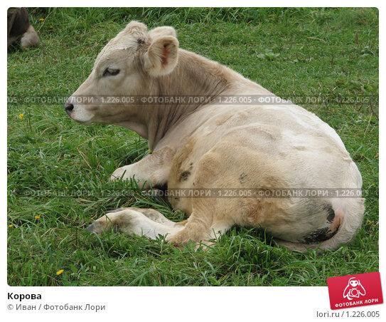 Корова, фото № 1226005, снято 20 августа 2009 г. (c) Иван / Фотобанк Лори