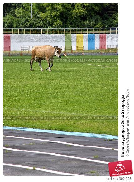 Корова джерсийской породы, фото № 302925, снято 21 июня 2004 г. (c) Сергей Лаврентьев / Фотобанк Лори