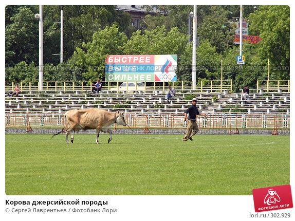 Корова джерсийской породы, фото № 302929, снято 21 июня 2004 г. (c) Сергей Лаврентьев / Фотобанк Лори
