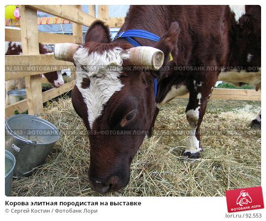 Корова элитная породистая на выставке, фото № 92553, снято 26 мая 2007 г. (c) Сергей Костин / Фотобанк Лори