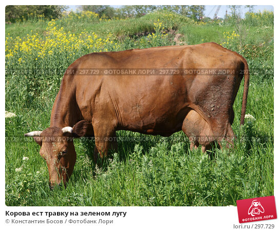 Корова ест травку на зеленом лугу, фото № 297729, снято 22 октября 2016 г. (c) Константин Босов / Фотобанк Лори