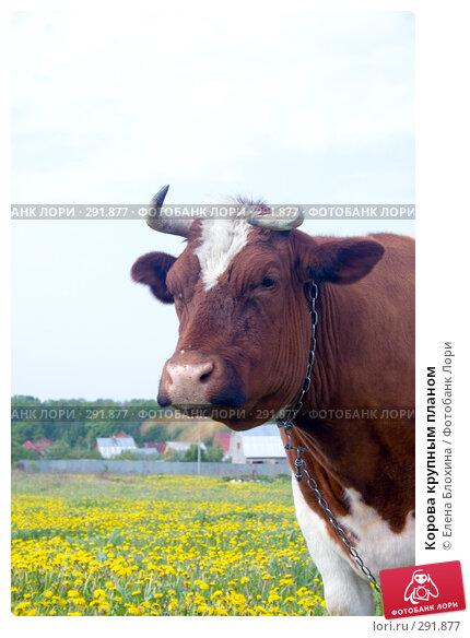 Корова крупным планом, фото № 291877, снято 19 мая 2008 г. (c) Елена Блохина / Фотобанк Лори