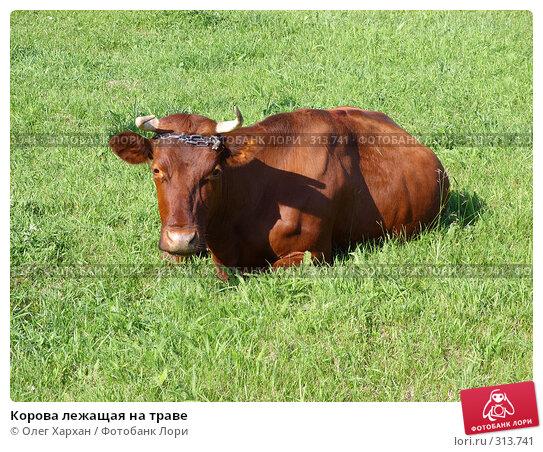Купить «Корова лежащая на траве», фото № 313741, снято 6 июня 2008 г. (c) Олег Хархан / Фотобанк Лори