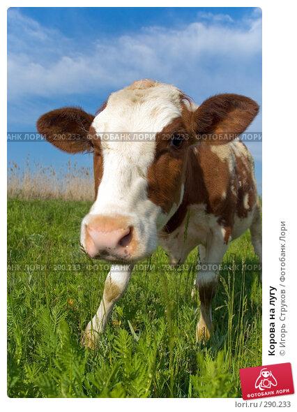 Корова на лугу, фото № 290233, снято 17 мая 2008 г. (c) Игорь Струков / Фотобанк Лори