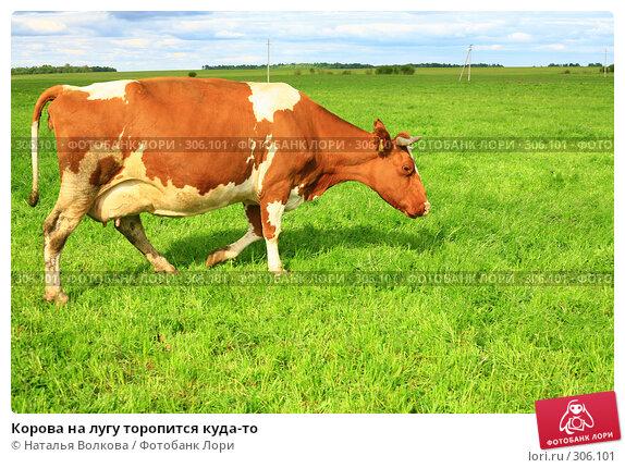 Корова на лугу торопится куда-то, эксклюзивное фото № 306101, снято 1 июня 2008 г. (c) Наталья Волкова / Фотобанк Лори