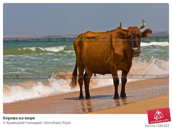 Корова на море, фото № 230021, снято 16 августа 2005 г. (c) Кравецкий Геннадий / Фотобанк Лори