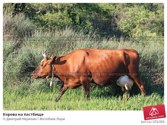 Корова на пастбище, эксклюзивное фото № 272553, снято 23 апреля 2008 г. (c) Дмитрий Неумоин / Фотобанк Лори