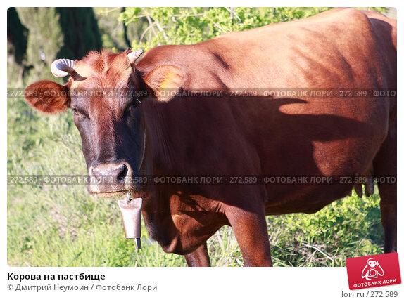 Корова на пастбище, эксклюзивное фото № 272589, снято 23 апреля 2008 г. (c) Дмитрий Неумоин / Фотобанк Лори