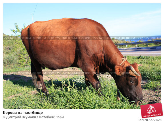 Корова на пастбище, эксклюзивное фото № 272625, снято 23 апреля 2008 г. (c) Дмитрий Неумоин / Фотобанк Лори