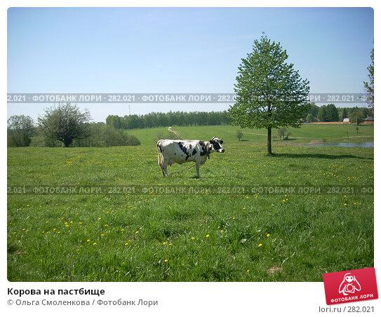 Купить «Корова на пастбище», фото № 282021, снято 12 мая 2008 г. (c) Ольга Смоленкова / Фотобанк Лори