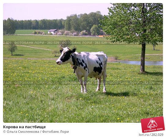 Купить «Корова на пастбище», фото № 282029, снято 12 мая 2008 г. (c) Ольга Смоленкова / Фотобанк Лори