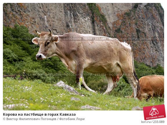 Корова на пастбище в горах Кавказа, фото № 233089, снято 2 июня 2005 г. (c) Виктор Филиппович Погонцев / Фотобанк Лори