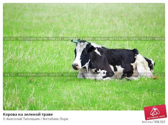 Корова на зеленой траве, фото № 308921, снято 26 мая 2008 г. (c) Анатолий Типляшин / Фотобанк Лори