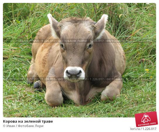 Купить «Корова на зеленой траве», фото № 1226017, снято 20 августа 2009 г. (c) Иван / Фотобанк Лори