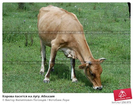 Корова пасется на лугу. Абхазия, фото № 250973, снято 18 августа 2004 г. (c) Виктор Филиппович Погонцев / Фотобанк Лори