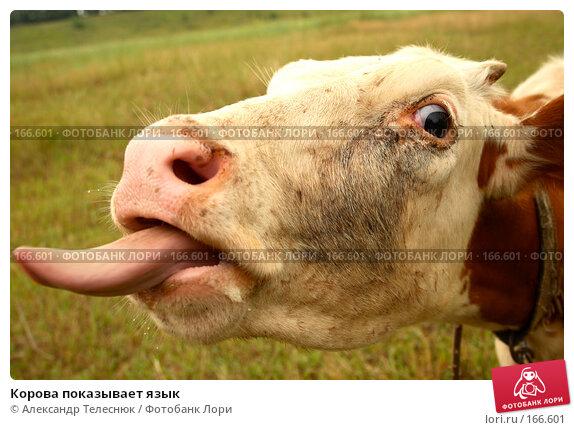 Корова показывает язык, фото № 166601, снято 23 июня 2007 г. (c) Александр Телеснюк / Фотобанк Лори