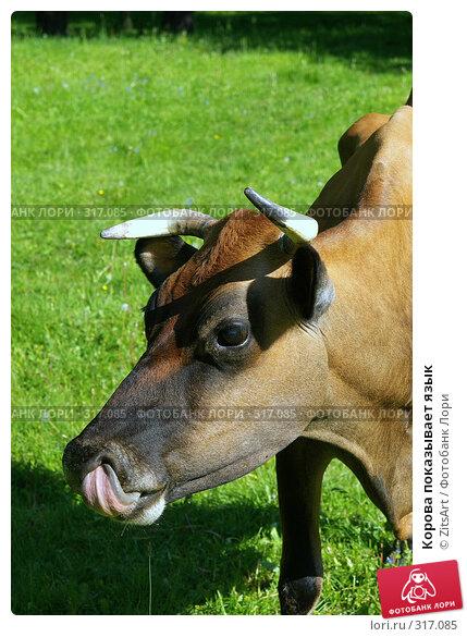 Купить «Корова показывает язык», фото № 317085, снято 6 июня 2008 г. (c) ZitsArt / Фотобанк Лори