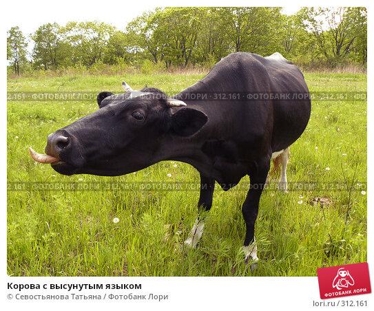 Купить «Корова с высунутым языком», фото № 312161, снято 24 мая 2008 г. (c) Севостьянова Татьяна / Фотобанк Лори