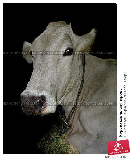 Корова швицкой породы, фото № 151873, снято 7 октября 2005 г. (c) Анастасия Некрасова / Фотобанк Лори