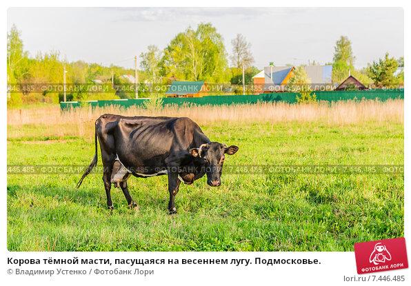 Купить «Корова тёмной масти, пасущаяся на весеннем лугу. Подмосковье.», фото № 7446485, снято 12 мая 2015 г. (c) Устенко Владимир Александрович / Фотобанк Лори