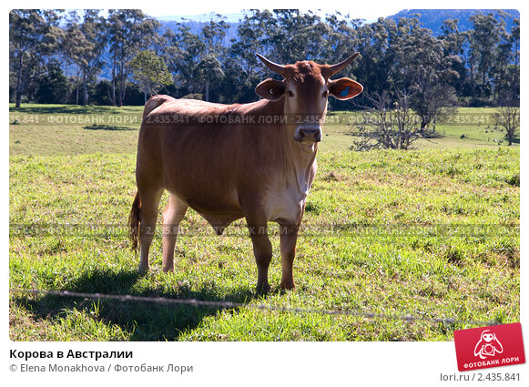 Купить «Корова в Австралии», фото № 2435841, снято 16 августа 2010 г. (c) Elena Monakhova / Фотобанк Лори
