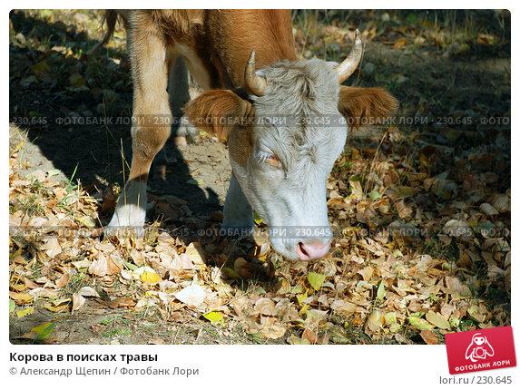 Купить «Корова в поисках травы», эксклюзивное фото № 230645, снято 29 сентября 2007 г. (c) Александр Щепин / Фотобанк Лори