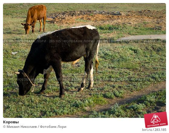 Купить «Коровы», фото № 283185, снято 13 мая 2008 г. (c) Михаил Николаев / Фотобанк Лори
