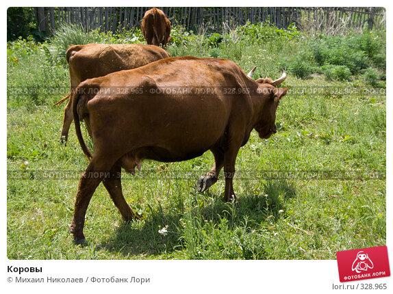 Купить «Коровы», фото № 328965, снято 19 июня 2008 г. (c) Михаил Николаев / Фотобанк Лори