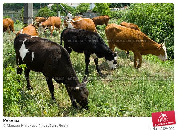 Купить «Коровы», фото № 329009, снято 19 июня 2008 г. (c) Михаил Николаев / Фотобанк Лори