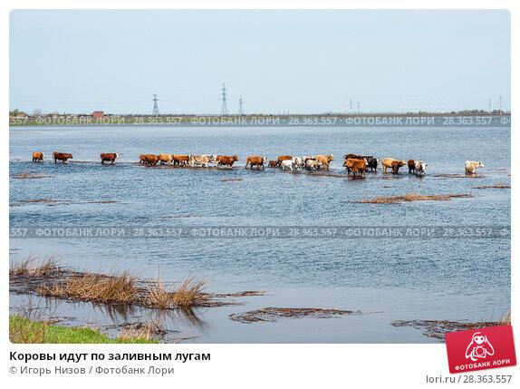 Купить «Коровы идут по заливным лугам», эксклюзивное фото № 28363557, снято 21 апреля 2018 г. (c) Игорь Низов / Фотобанк Лори