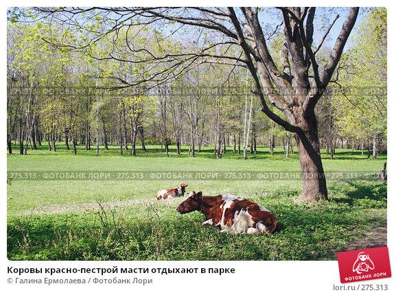 Купить «Коровы красно-пестрой масти отдыхают в парке», фото № 275313, снято 3 мая 2008 г. (c) Галина Ермолаева / Фотобанк Лори