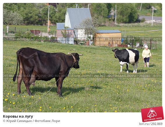 Коровы на лугу, фото № 292869, снято 18 мая 2008 г. (c) Юрий Синицын / Фотобанк Лори