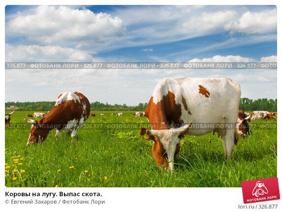 Коровы на лугу. Выпас скота., фото № 326877, снято 28 мая 2008 г. (c) Евгений Захаров / Фотобанк Лори