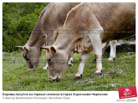 Коровы пасутся на горных склонах в горах Карачаево-Черкесии, фото № 250969, снято 2 июня 2005 г. (c) Виктор Филиппович Погонцев / Фотобанк Лори