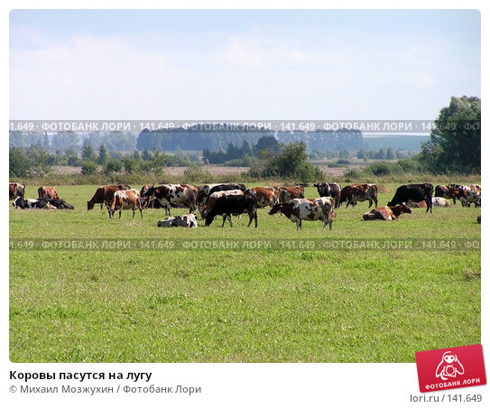 Коровы пасутся на лугу, фото № 141649, снято 26 августа 2006 г. (c) Михаил Мозжухин / Фотобанк Лори