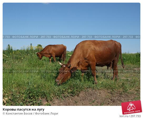 Коровы пасутся на лугу, фото № 297733, снято 26 марта 2017 г. (c) Константин Босов / Фотобанк Лори