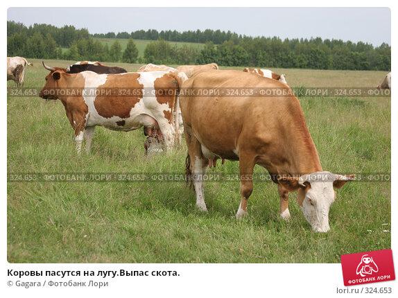 Коровы пасутся на лугу.Выпас скота., фото № 324653, снято 8 октября 2007 г. (c) Gagara / Фотобанк Лори