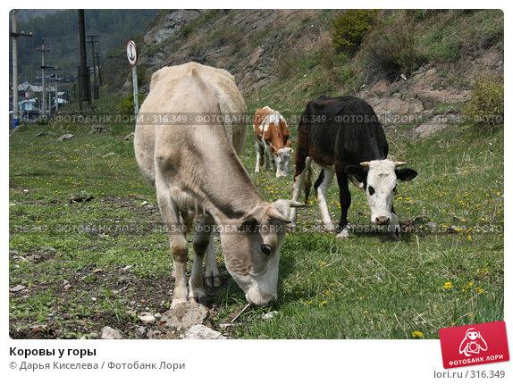 Коровы у горы, фото № 316349, снято 31 мая 2008 г. (c) Дарья Киселева / Фотобанк Лори
