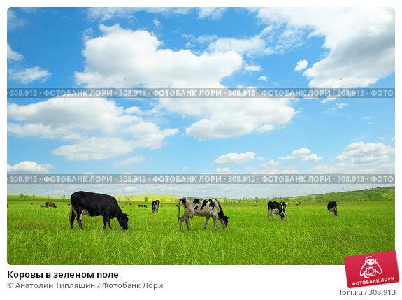 Купить «Коровы в зеленом поле», фото № 308913, снято 26 мая 2008 г. (c) Анатолий Типляшин / Фотобанк Лори