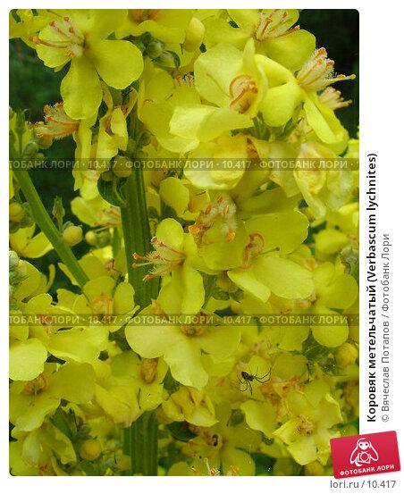 Коровяк метельчатый (Verbascum lychnites), фото № 10417, снято 10 июля 2004 г. (c) Вячеслав Потапов / Фотобанк Лори