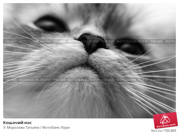 Кошачий нос, фото № 150865, снято 23 апреля 2007 г. (c) Морозова Татьяна / Фотобанк Лори