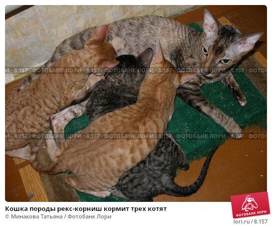 Кошка породы рекс-корниш кормит трех котят, фото № 8157, снято 20 августа 2006 г. (c) Минакова Татьяна / Фотобанк Лори