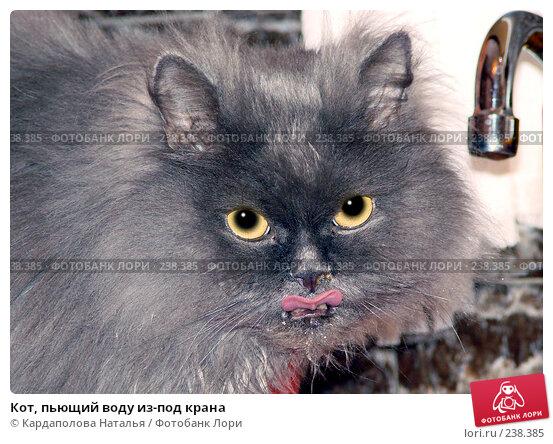 Купить «Кот, пьющий воду из-под крана», фото № 238385, снято 7 марта 2008 г. (c) Кардаполова Наталья / Фотобанк Лори