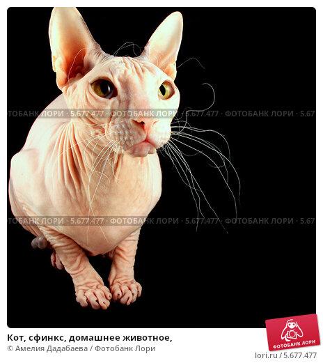 Кот, сфинкс, домашнее животное, Стоковое фото, фотограф Амелия Дадабаева / Фотобанк Лори