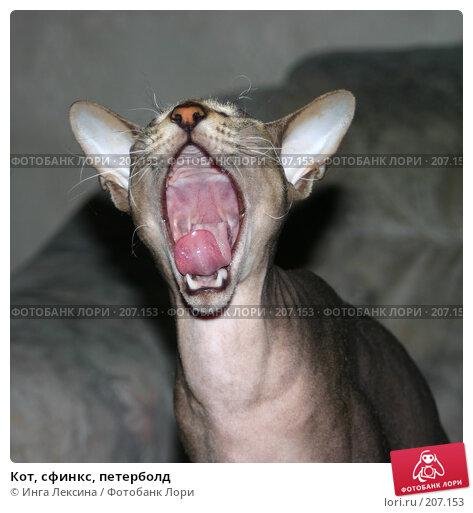 Купить «Кот, сфинкс, петерболд», фото № 207153, снято 24 июля 2004 г. (c) Инга Лексина / Фотобанк Лори
