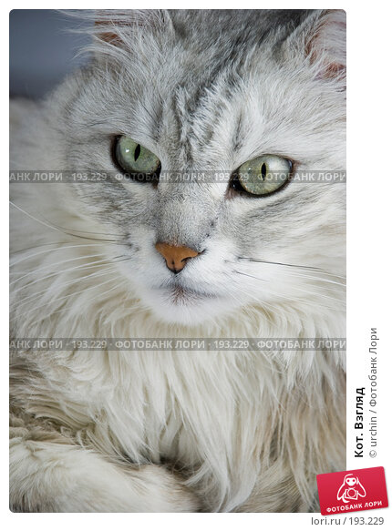 Кот. Взгляд, фото № 193229, снято 2 февраля 2008 г. (c) urchin / Фотобанк Лори