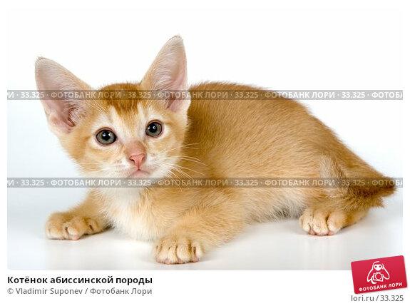 Котёнок абиссинской породы, фото № 33325, снято 8 апреля 2007 г. (c) Vladimir Suponev / Фотобанк Лори