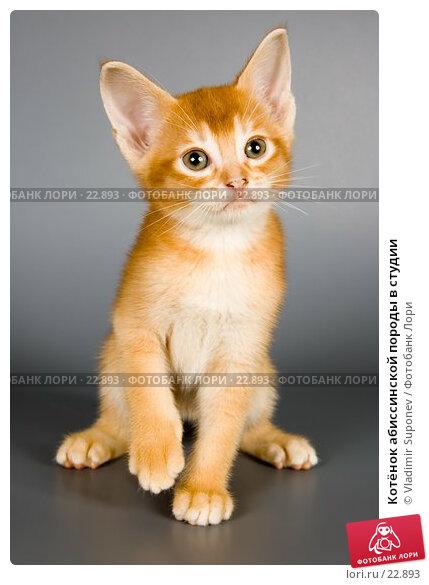 Котёнок абиссинской породы в студии, фото № 22893, снято 10 марта 2007 г. (c) Vladimir Suponev / Фотобанк Лори